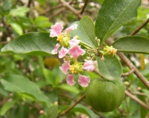 Kwiaty i owoc Aceroli