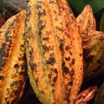 cacao - owoc